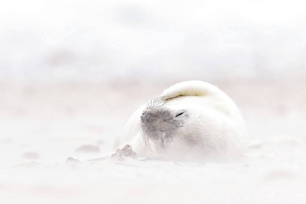 Grey seal (Halichoerus grypus), young animal lies asleep on the beach at Sandsturm, Island Duene, Helgoland, Lower Saxony, Germany, Europe
