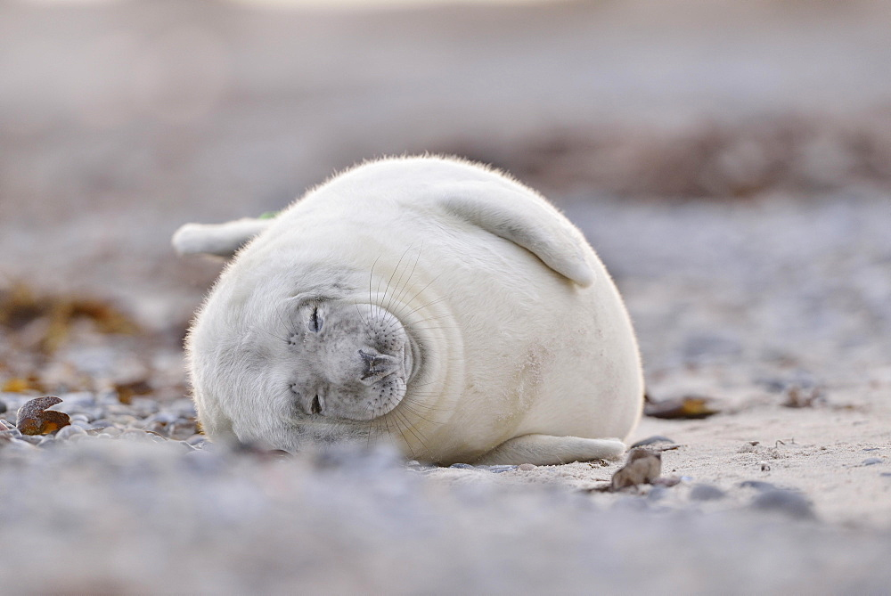 Grey seal (Halichoerus grypus), young animal lies asleep on the beach, island Duene, Helgoland, Lower Saxony, Germany, Europe
