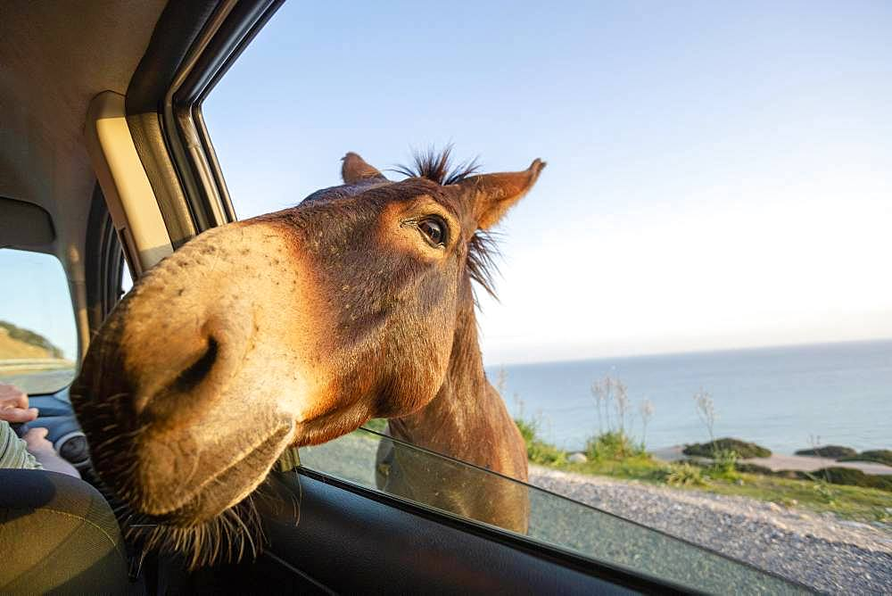 Cute wild donkey putting his head through car window, Spain, Europe