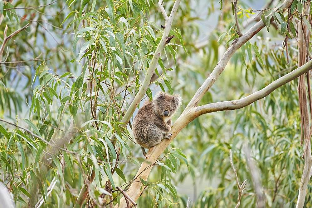 Koala (Phascolarctos cinereus), sitting in an Eucalyptus tree, Great Otway National Park, Victoria, Australia, Oceania