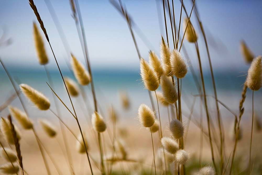 Flowering grasses in the dunes on the beach, Portbail, Normandy, France, Europe