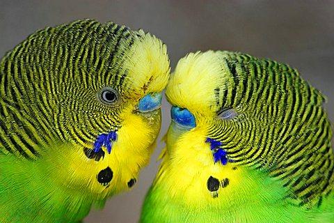 two Budgerigars Melopsittacus undulatus in love
