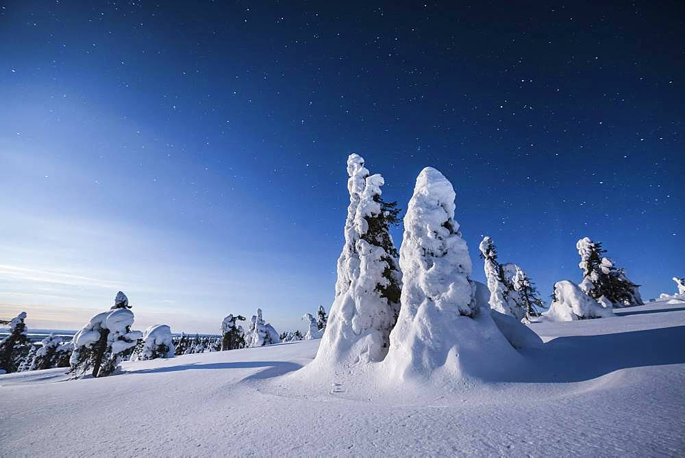 Night shot with starry sky in winter, snow-covered Pines (Pinus) in Riisitunturi National Park, Posio, Lapland, Finland, Europe - 832-384160