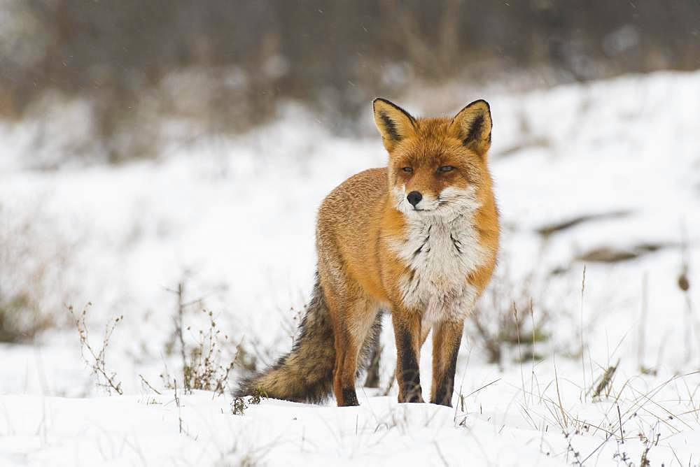 Red fox (Vulpes vulpes) in the snow, North Holland, Netherlands