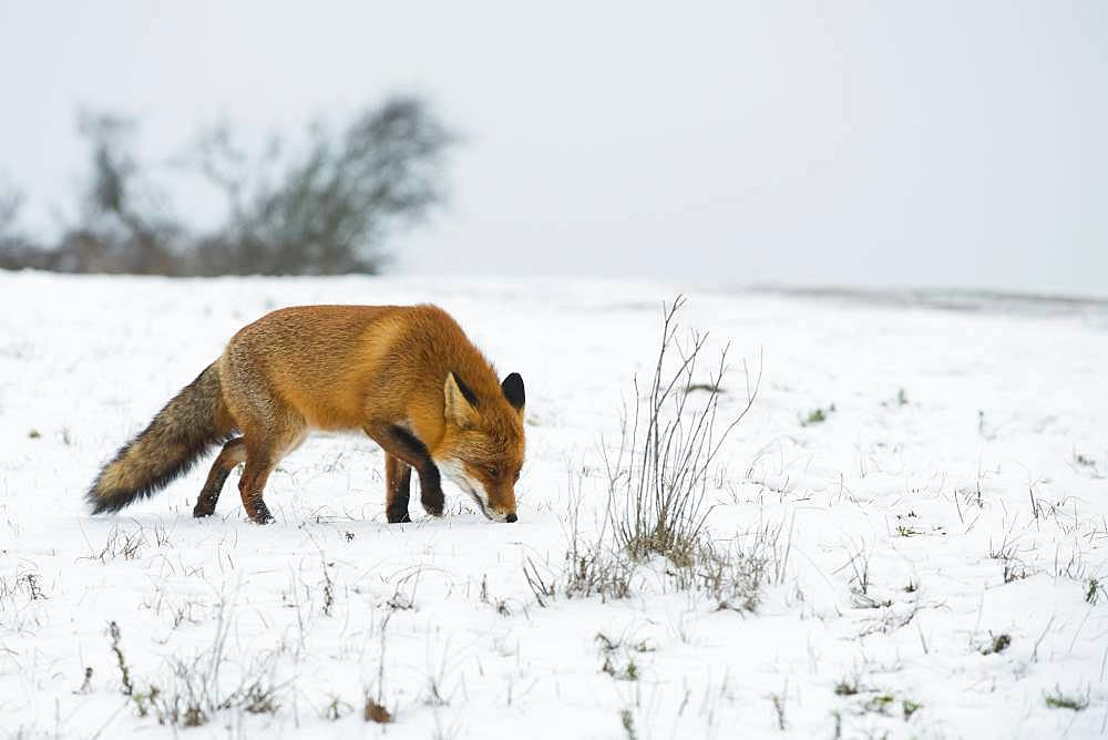 Red fox (Vulpes vulpes) sniffing in the snow, North Holland, Netherlands