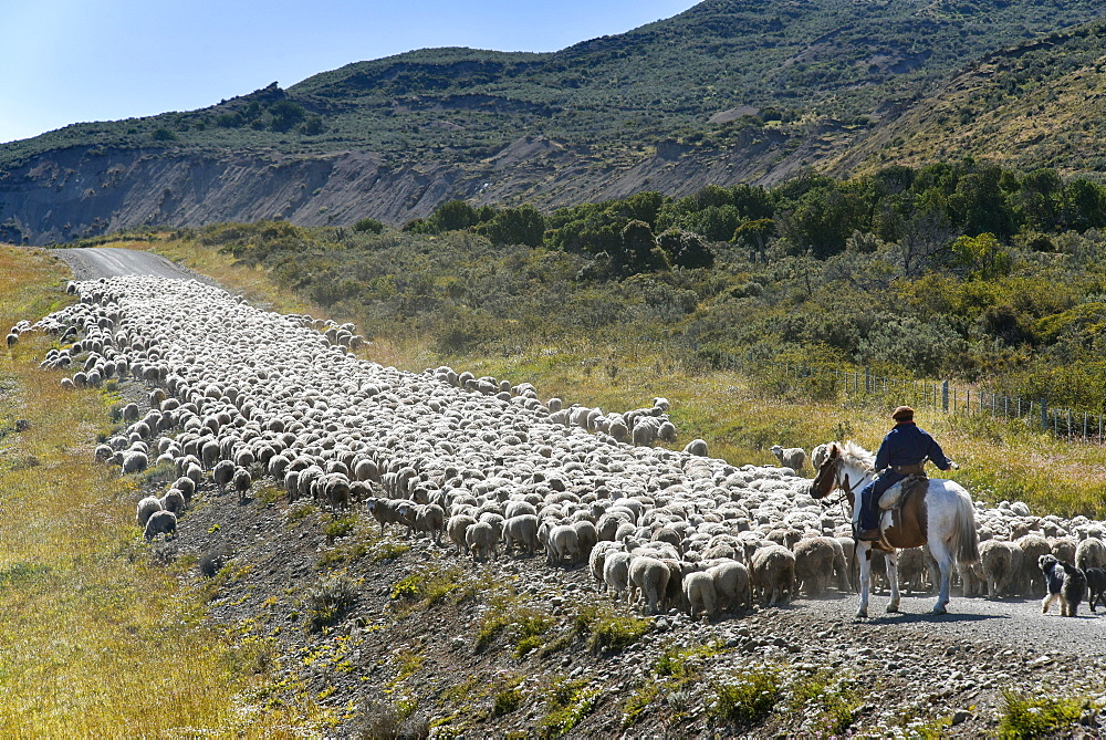 Gaucho on horseback drives huge flocks of sheep, between Porvenier and Ushuaia, Tierra del Fuego, Tierra del Fuego, Argentina, South America