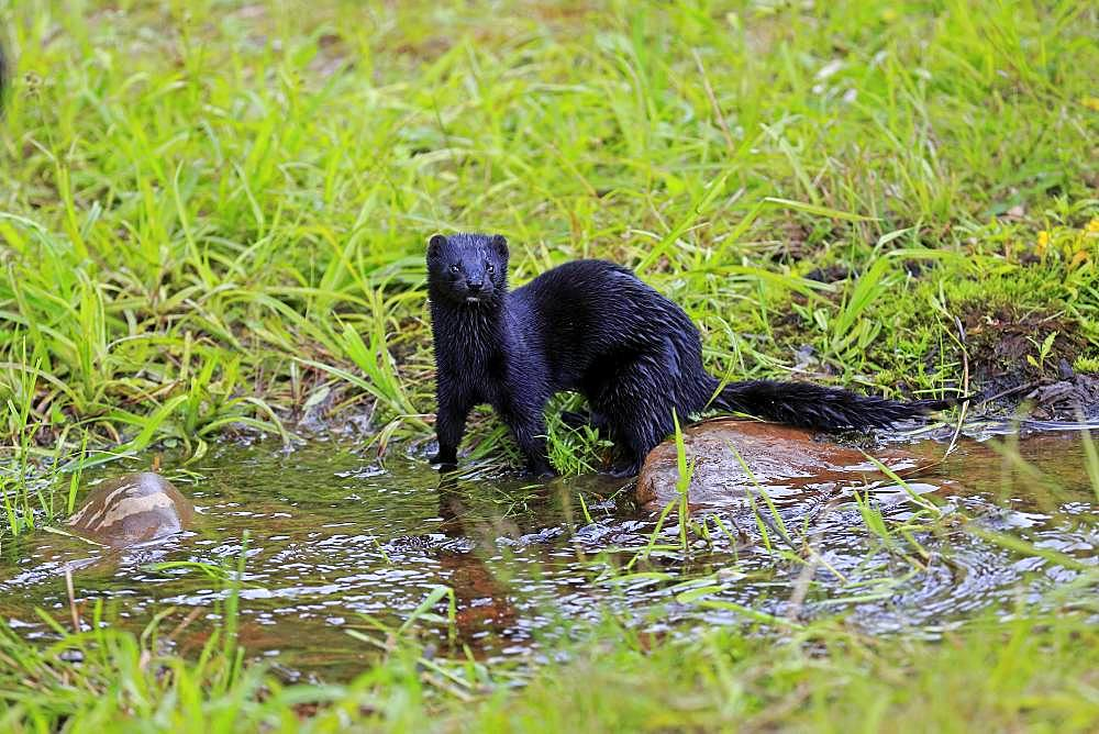 American Mink (Mustela vison), adult, alert, on the water, Pine County, Minnesota, USA, North America