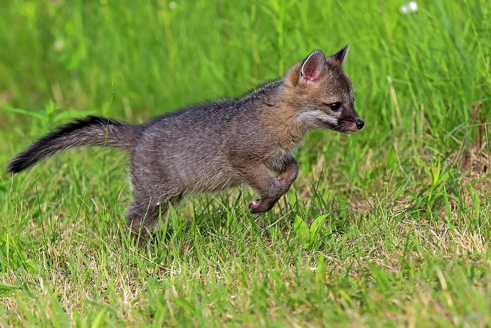 Gray fox (Urocyon cinereoargenteus), young animal jumping on a meadow, Pine County, Minnesota, USA, North America