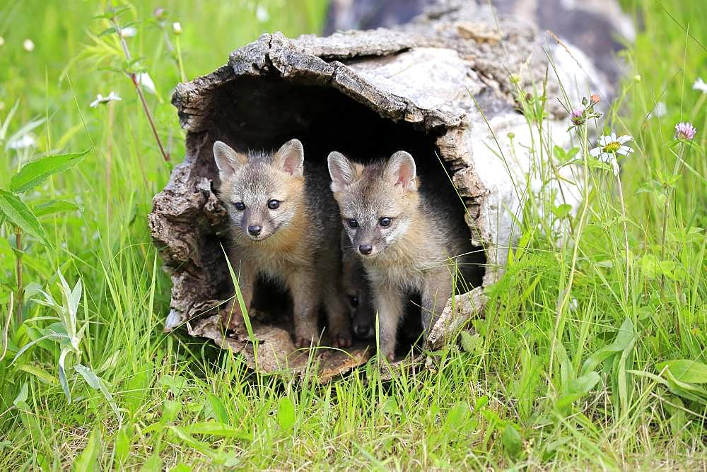 Gray foxes (Urocyon cinereoargenteus), two young animals looking curiously out of a hollow tree trunk, Pine County, Minnesota, USA, North America