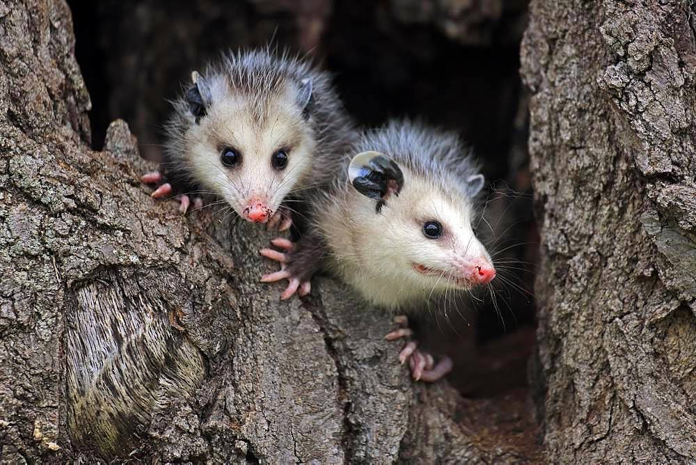 Virginia Opossum (Didelphis virginiana), two young animals on tree trunk, vigilant, animal portrait, Pine County, Minnesota, USA, North America
