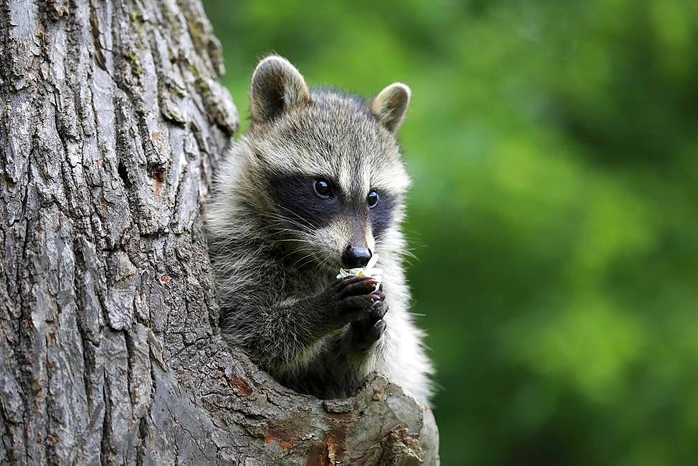 American Raccoon (Procyon lotor), young animal looks curiously out of tree hole and eats flower, Pine County, Minnesota, USA, North America