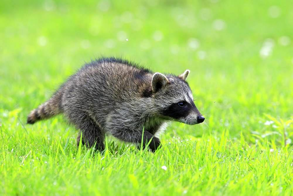Raccoon (Procyon lotor), young animal running on grass, Pine County, Minnesota, USA, North America