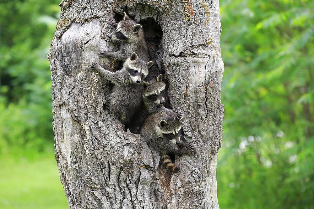 Raccoons (Procyon lotor), four young animals looking curiously from tree cave, Pine County, Minnesota, USA, North America