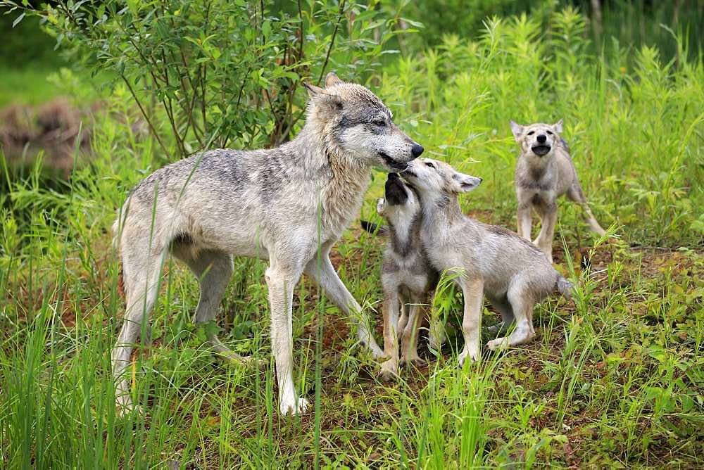 Gray wolves (Canis lupus), adult with young animals in a meadow, social behaviour, Pine County, Minnesota, USA, North America