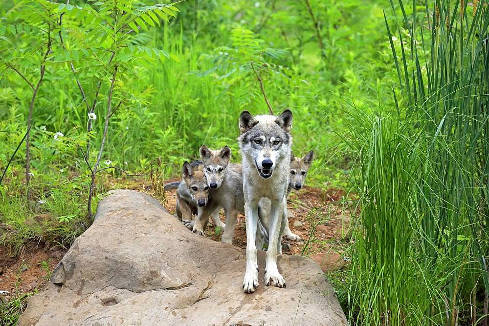 Gray wolves (Canis lupus), adult with young animals on rocks, Pine County, Minnesota, USA, North America