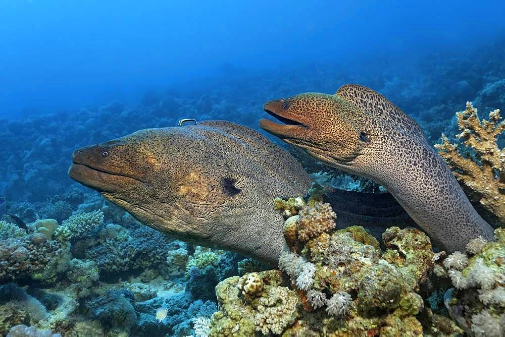 Two Giant morays (Gymnothorax javanicus) looking out of coral reef with different stone corals (Hexacorallia), Red Sea, Egypt, Africa