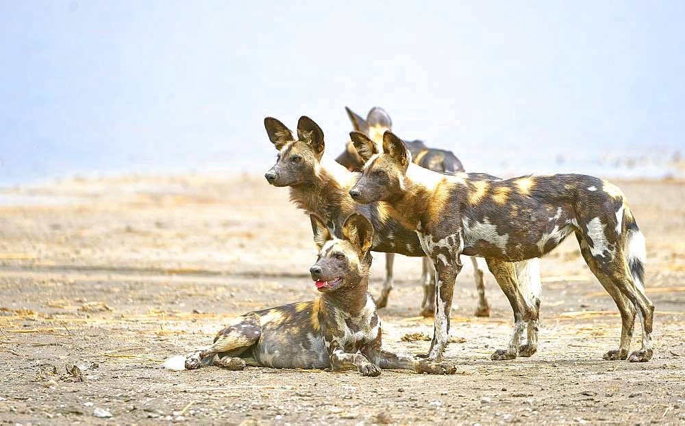 African wild dogs (Lycaon pictus), pack at Lake Masek, Serengeti, Tanzania, Africa