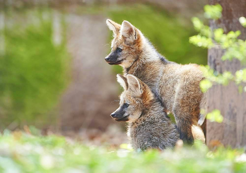 Maned wolf (Chrysocyon brachyurus), cubs in spring, captive, Germany, Europe