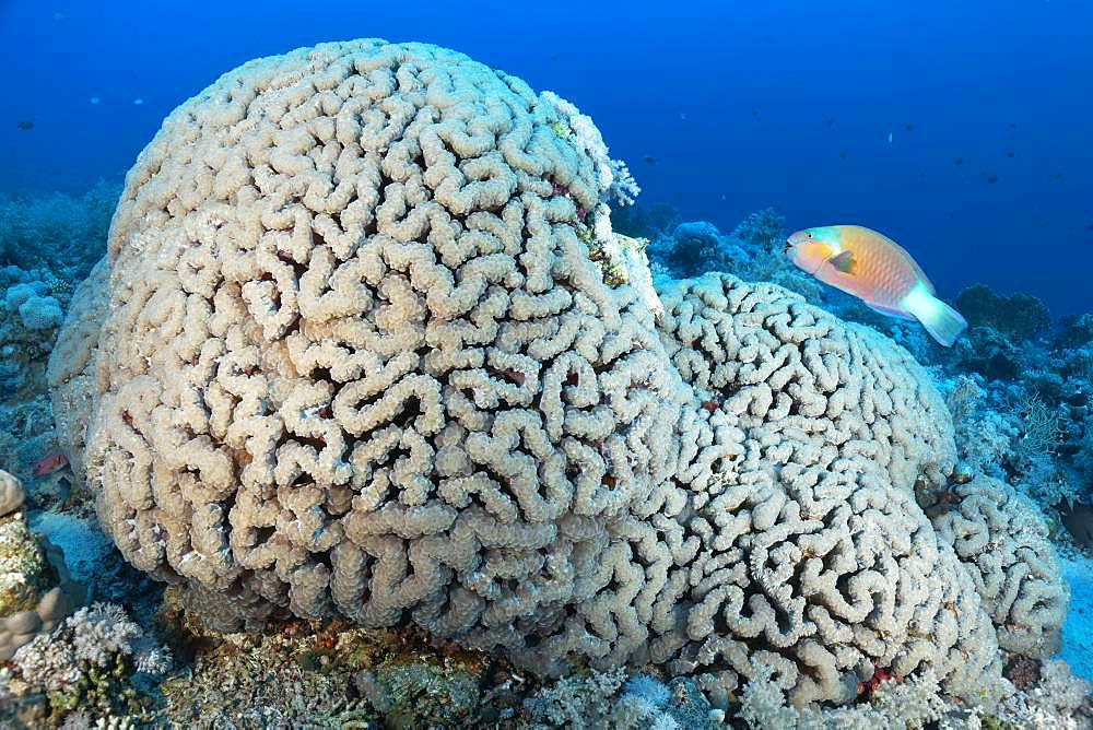 Bubble Coral (Plerogyra sinuosa) with Bullethead parrotfish (Chlorurus sordidus), Red Sea, Egypt, Africa