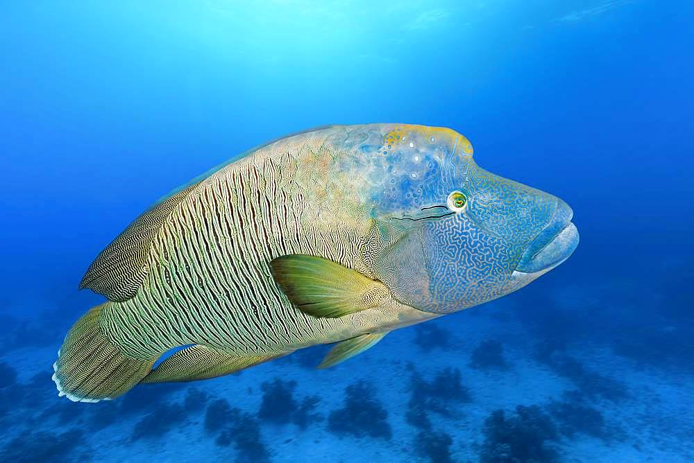 Adult Humphead Wrasse (Cheilinus undulatus) swims over spotted reefs, Red Sea, Egypt, Africa