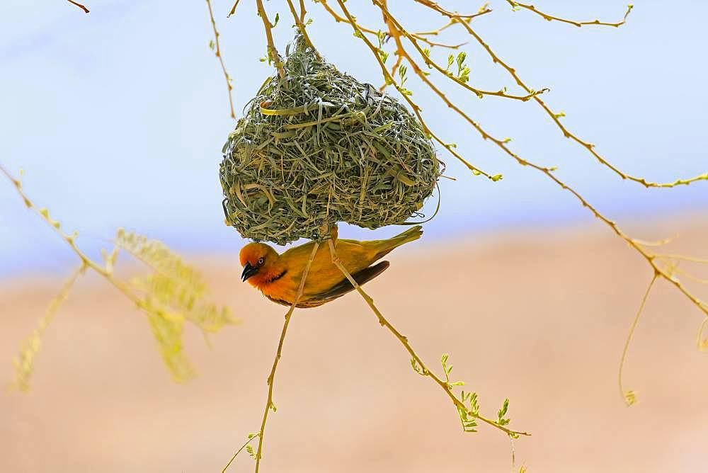 Cape Weaver (Ploceus capensis), adult male, hangs on nest during nest building, Little Karoo, Western Cape, South Africa, Africa