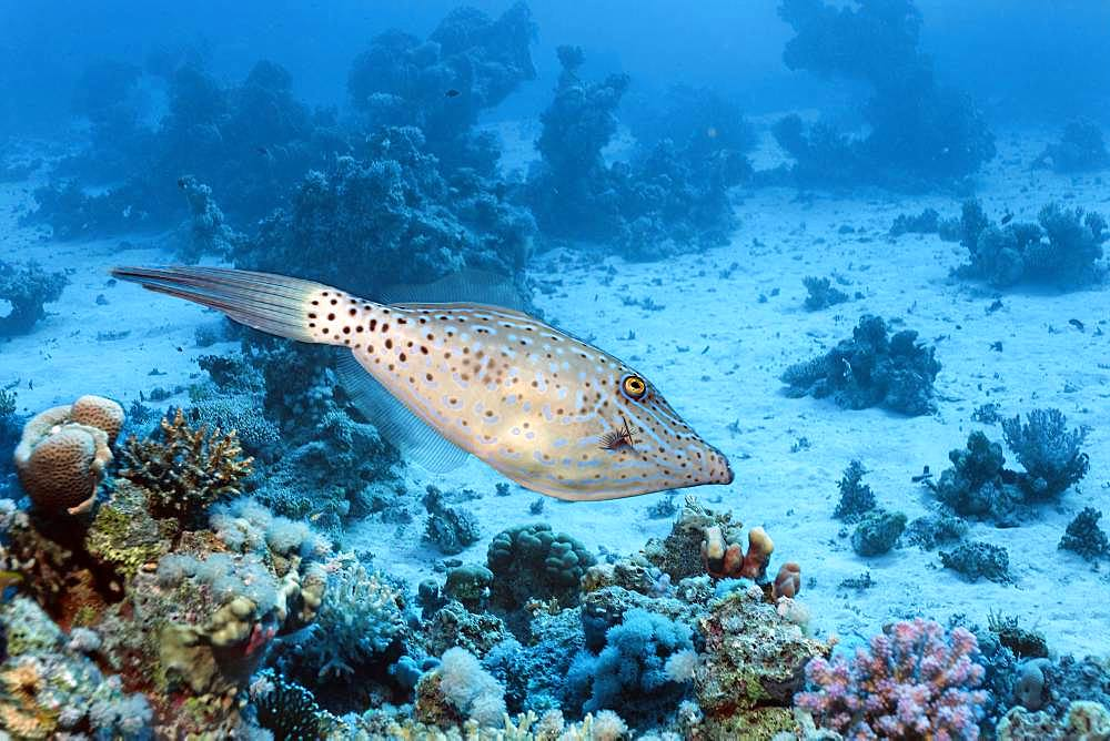 Scrawled filefish (Aluterus scriptus) swims over coral reef, Red Sea, Egypt, Africa