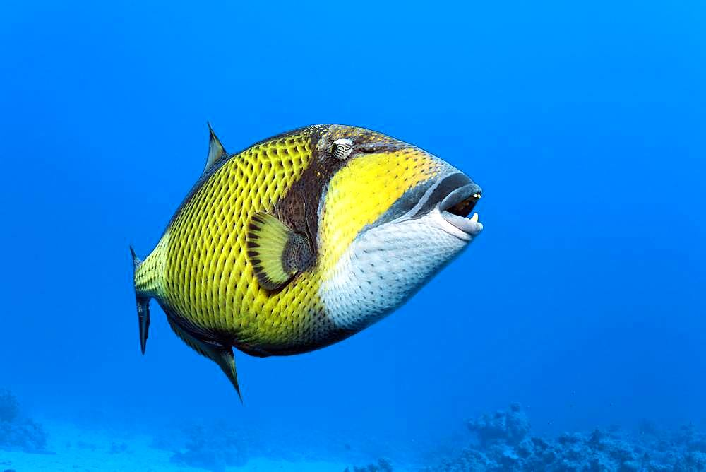 Titan triggerfish (Balistoides viridescens) swims in the open sea, Red Sea, Egypt, Africa