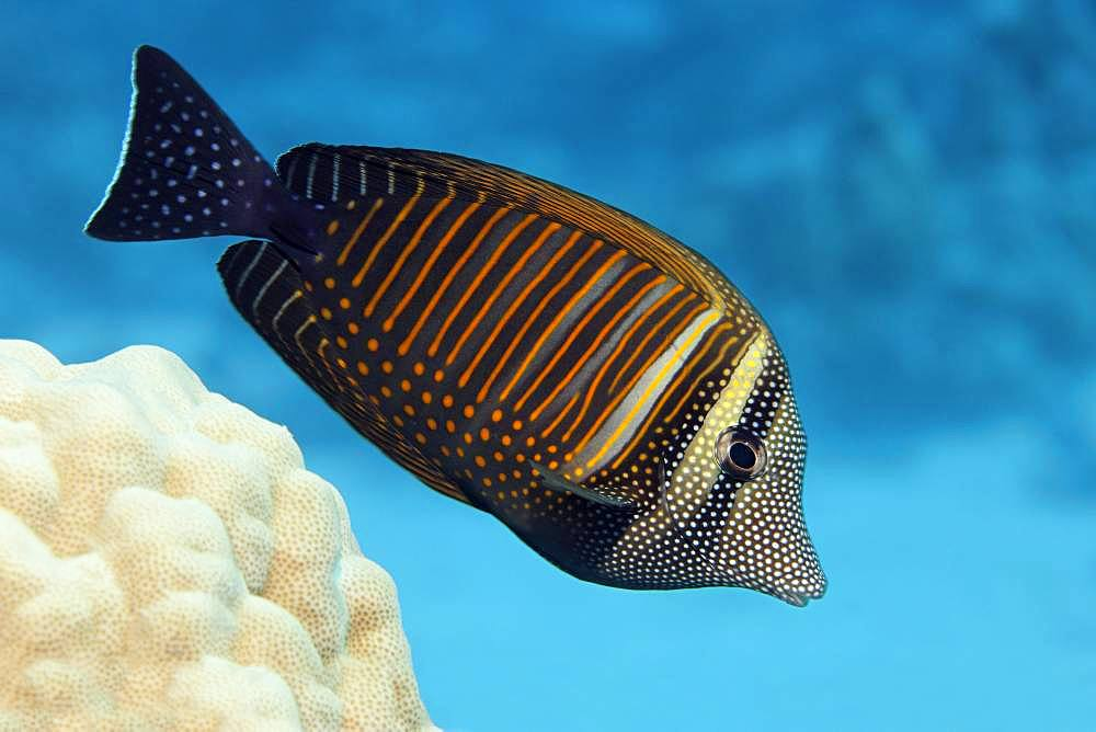 Desjardin's sailfin tang (Zebrasoma desjardinii) swims over coral reef, Red Sea, Egypt, Africa