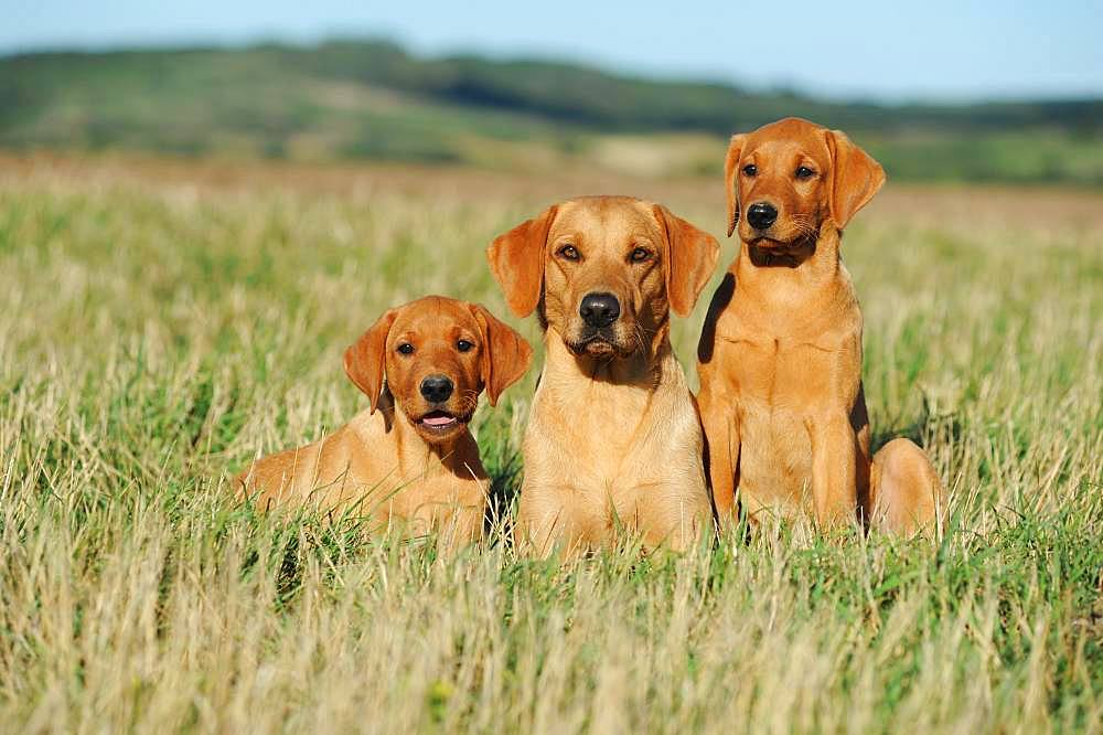 Labrador Retriever, yellow, bitch with puppies, sitting in meadow, Austria, Europe