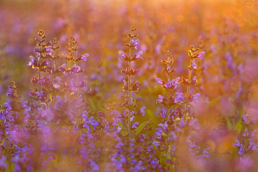 Field with flowering sage (salvia officinalis), cultivation, Freital, Saxony, Germany, Europe