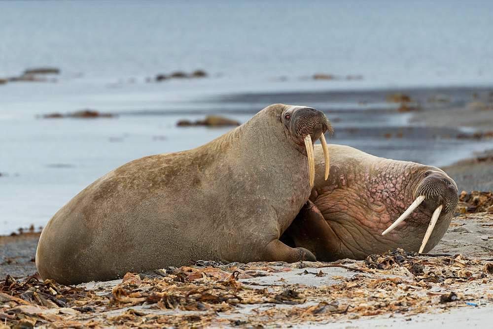 Two Walruses (Odobenus rosmarus), located on the beach, Smeerenburgfjord, Spitsbergen Archipelago, Svalbard and Jan Mayen, Norway, Europe