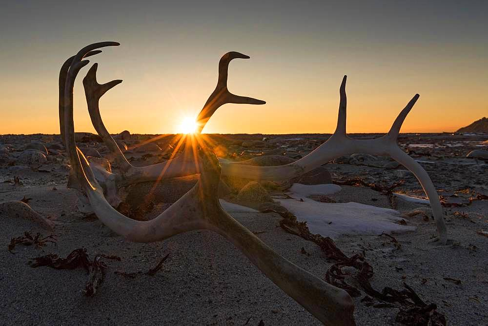 Antlers of a reindeer in backlight, sunset, Kobbefjord, Spitsbergen archipelago, Svalbard and Jan Mayen, Norway, Europe