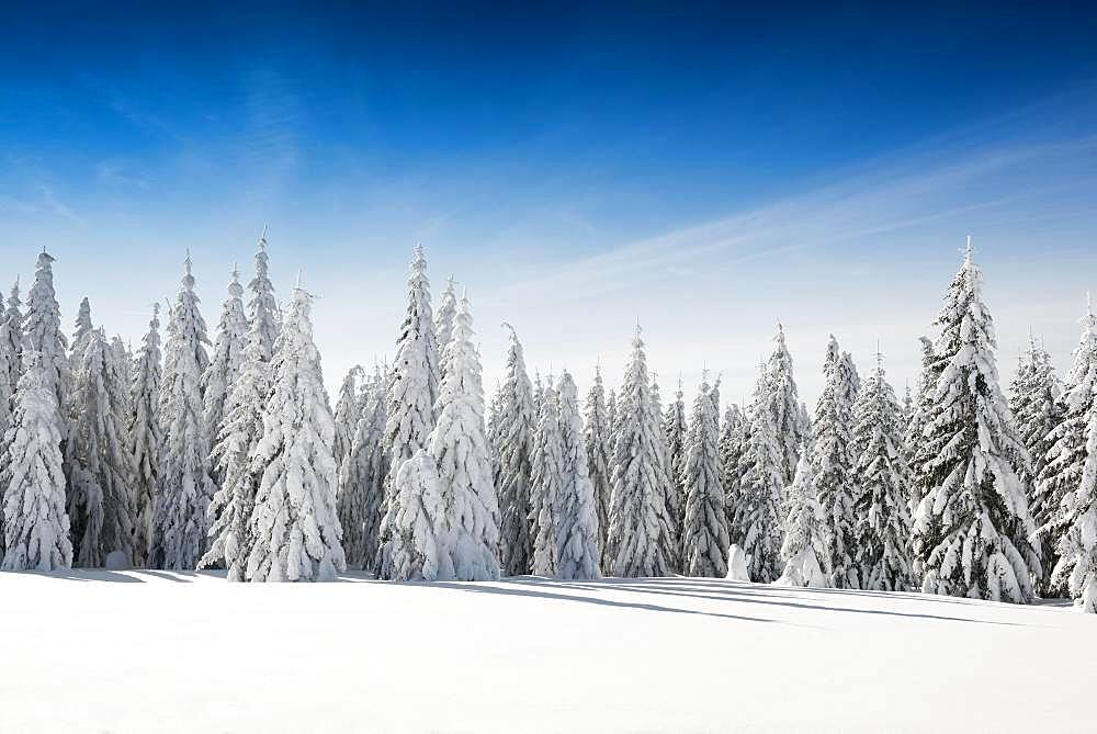 Snow-covered spruces in sunshine, Stuebenwasen, Todtnauberg, Black Forest, Baden-Wuerttemberg, Germany, Europe