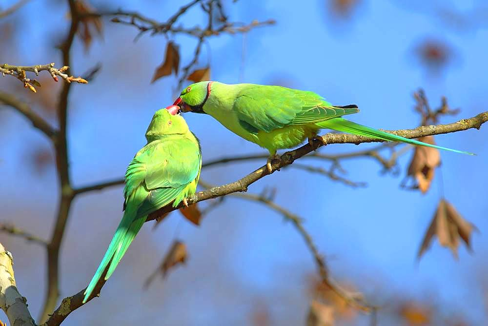 Rose-ringed parakeets (Psittacula krameri), animal pair sits on branch and beaks, kiss, palace gardens Biebrich, Hesse, Germany, Europe