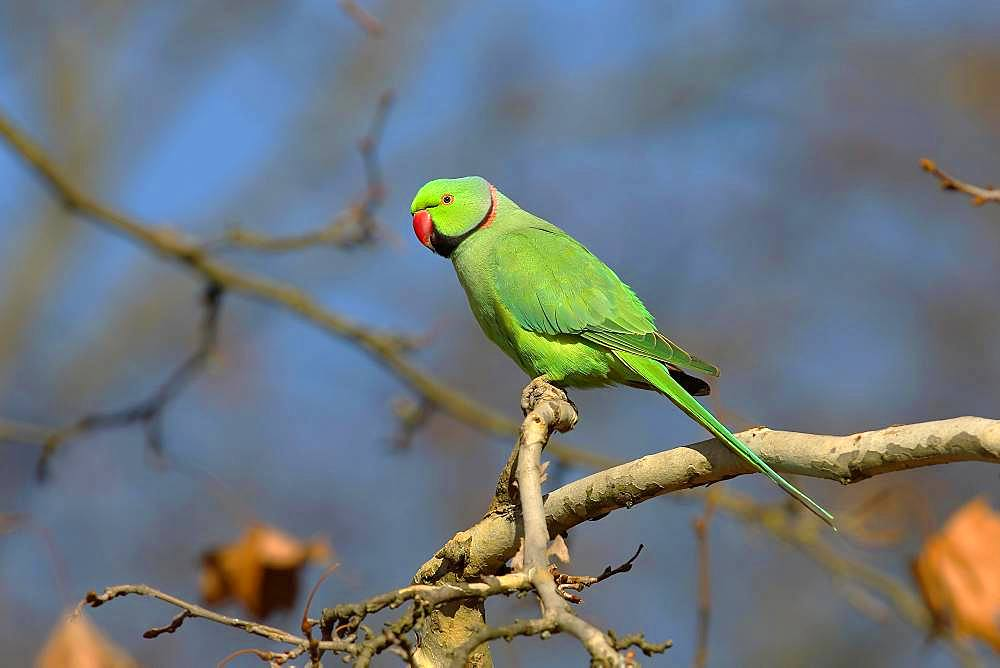 Rose-ringed parakeet (Psittacula krameri) sits on a branch, palace gardens Biebrich, Hesse, Germany, Europe