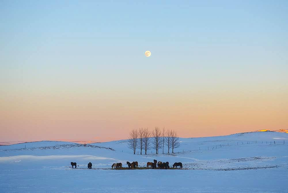 Snowy landscape with Icelandic horses (Equus islandicus), at sunset, Sudurland, Iceland, Europe