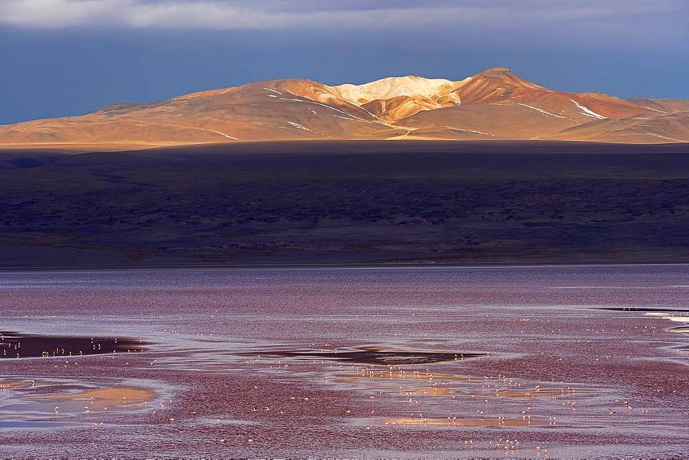 Laguna Colorada with flamingos, 4.323 m altitude, border to Chile, Andes, Altiplano, Reserva Nacional de Fauna Andina Eduardo Abaroa, Departamento Potosi, Bolivia, South America