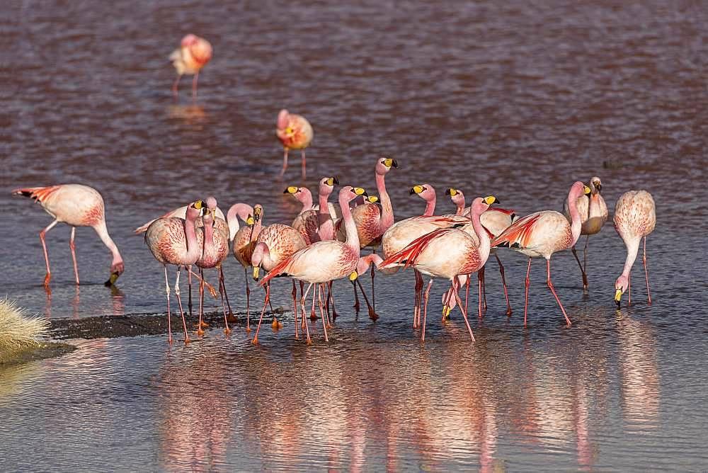 Andean Flamingos (Phoenicoparrus andinus) in the Laguna Colorada, Reserva Nacional de Fauna Andina Eduardo Avaroa, Altiplano, Departamento Potosi, Bolivia, South America