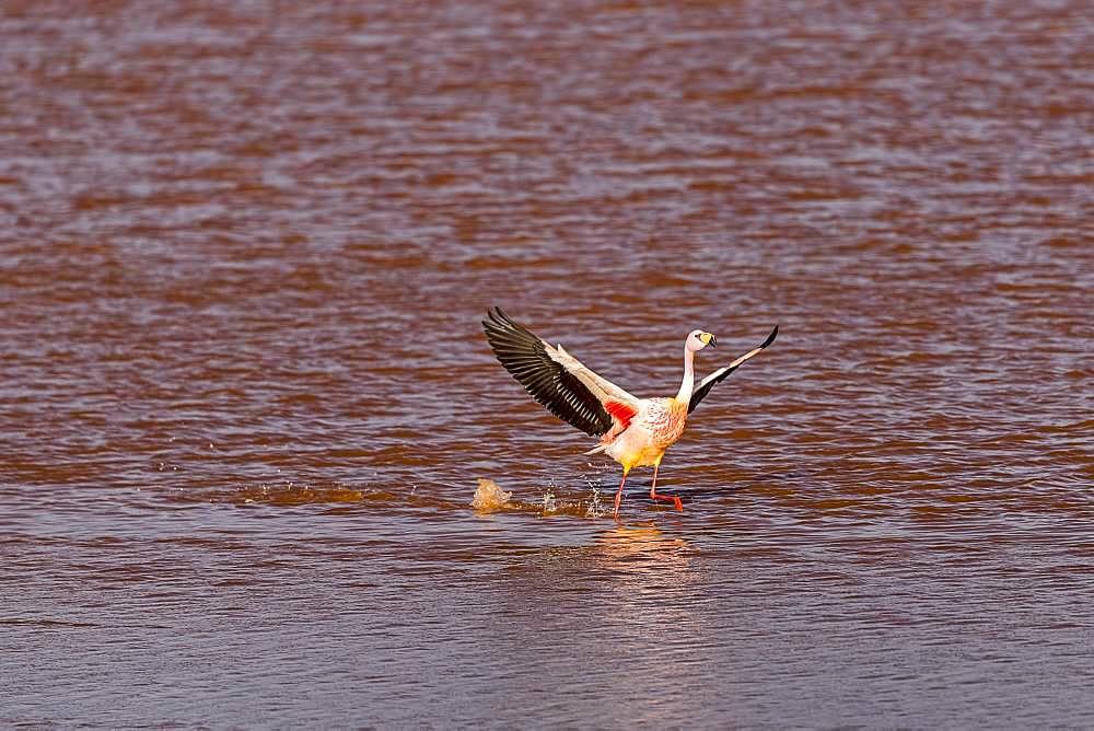 Flying Andean Flamingo (Phoenicoparrus andinus) in the Laguna Colorada, Reserva Nacional de Fauna Andina Eduardo Avaroa, Altiplano, Departamento Potosi, Bolivia, South America