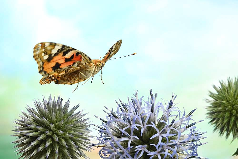 Painted lady (Vanessa cardui) in flight on the flowers of globe thistle (Echinops), Germany, Europe