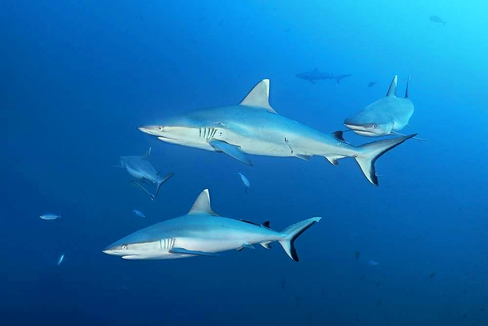 Four Grey reef sharks (Carcharhinus amblyrhynchos) swimming in the open sea, Indian Ocean, Maldives, Asia