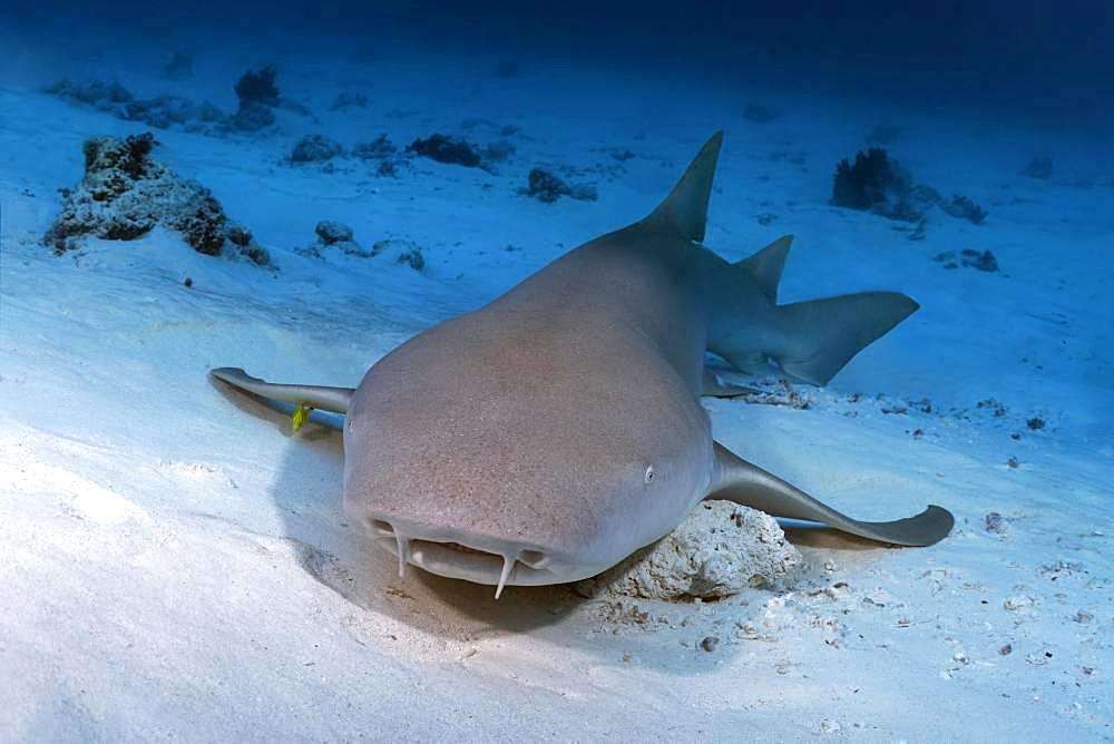 Tawny nurse shark (Nebrius ferrugineus) lies on a sandy bottom, Indian Ocean, Maldives, Asia