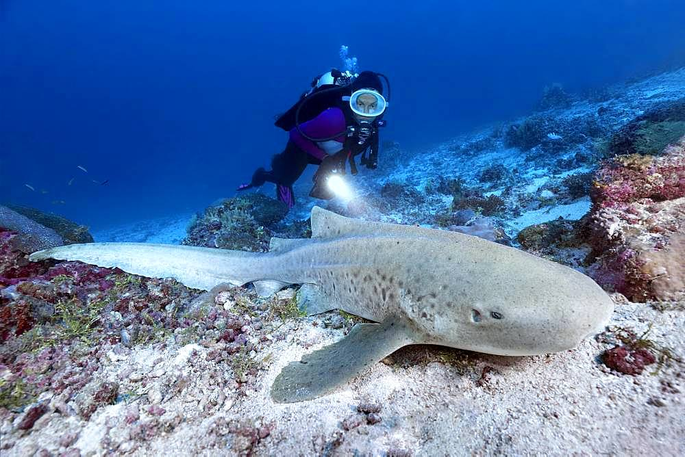 Diver observes zebra shark (Stegostoma fasciatum), Indian Ocean, Maldives, Asia