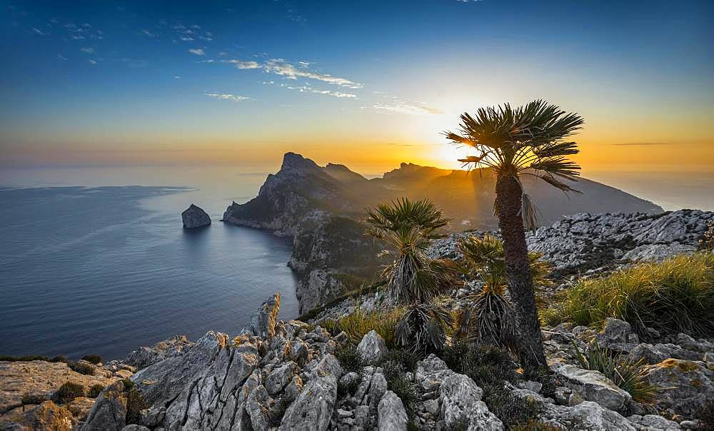 Sunrise, palm in front of Cap Formentor, Port de Pollenca, Serra de Tramuntana, Majorca, Balearic Islands, Spain, Europe