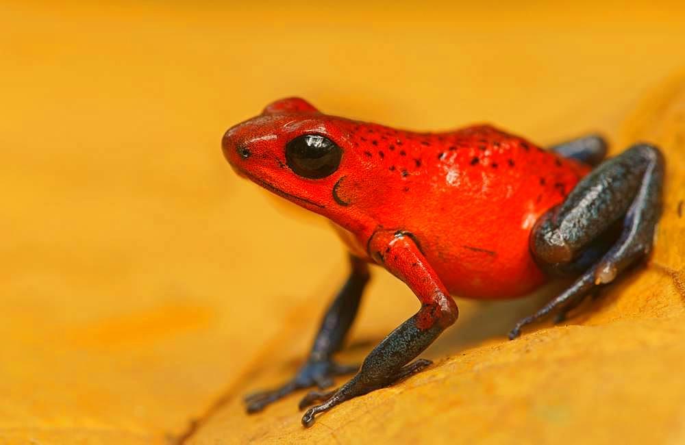 Strawberry poison-dart frog (Oophaga pumilio), Costa Rica, Central America