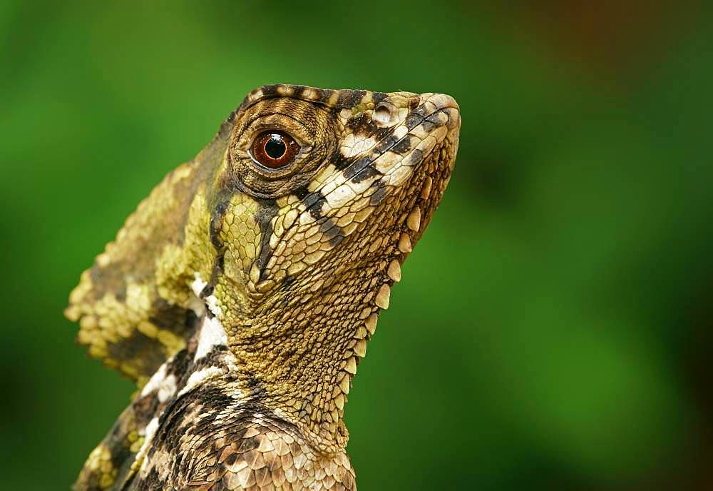 Smooth helmeted iguana (Corytophanes cristatus), animal portrait, Costa Rica, Central America