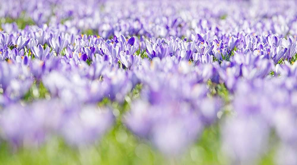 Sea of flowers with purple woodland crocus (Crocus tommasinianus), Lower Austria, Austria, Europe - 832-384834