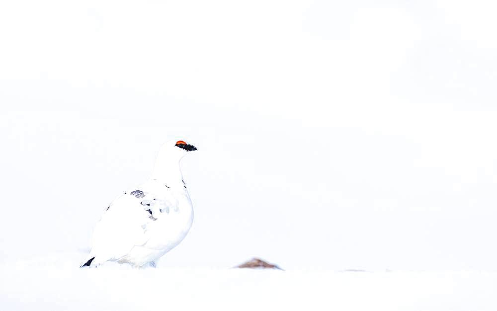 Rock Ptarmigan (Lagopus muta) in winter plumage, sitting in snow, Highlands, Scotland, Great Britain