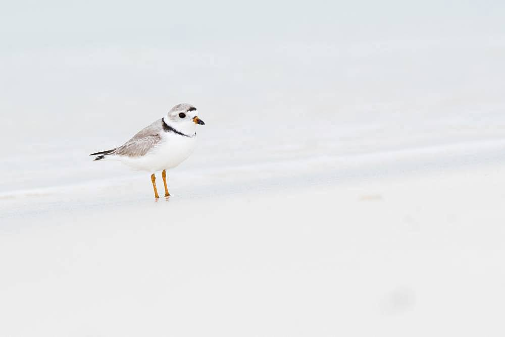 Kentish plover (Charadrius alexandrinus) standing by the water, Cayo Santa Maria, Cuba, Central America