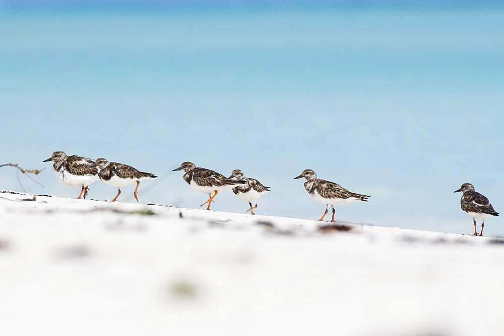 Several Ruddy turnstones (Arenaria interpres) run in a row in the sand, Cayo Santa Maria, Cuba, Central America
